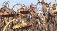 Ripe sunflowers Stock Footage