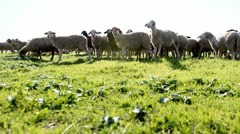 Sheep  Shep  lamb  farm farming countryside ecology grass agriculture animals - stock footage