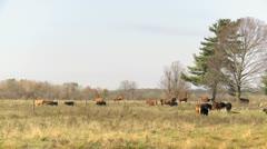 Beef Cattle walking across field_HD Stock Footage
