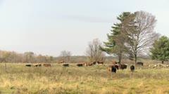Herd of Beef Cattle_HD Stock Footage