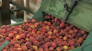 Stock Video Footage of Freshly picked peaches on conveyor belt in processing factory