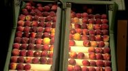 Stock Video Footage of Freshly picked Peaches being processed on conveyor in packing plant
