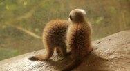 Baby Meerkats Stock Footage
