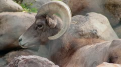 Big Horn Sheep in Captivity Stock Footage