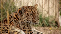 Leopard in Captivity - stock footage