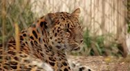 Stock Video Footage of Leopard in Captivity