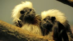 Monkeys with Crazy Hair Stock Footage