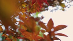 dolly shot of japanese maple leaves blowing in the autumn evening wind. - stock footage