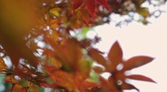 Dolly shot of japanese maple leaves blowing in the autumn evening wind. Stock Footage