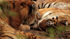 Siberian Tigers in the Wild Stock Footage