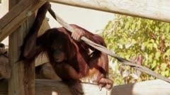 Orangatang chews on garbage in zoo Stock Footage