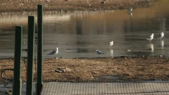 Birds at a pond - stock footage
