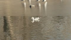 Birds in the water - stock footage