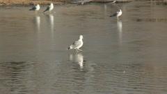 Birds on the ice - stock footage