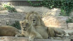 A group of lions Stock Footage