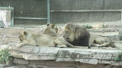 a group of lions - stock footage