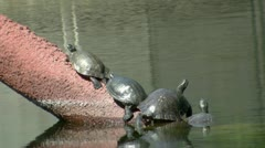 Turtles Basking In Sun Stock Footage