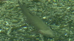 Rainbow Trout - stock footage