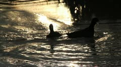 Ducks on golden sunlight water Stock Footage