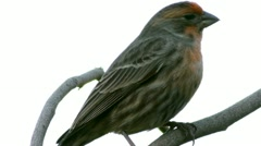 House Finch Close Up Stock Footage