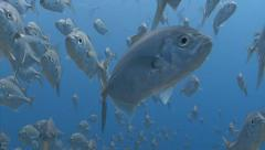 Stock Video Footage of School of silver fish swim towards camera