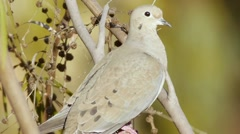Mourning Dove On Branch Stock Footage