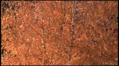 Stock Video Footage of Foliage in autumn breeze1080