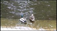 Stock Video Footage of A pair of ducks 1080