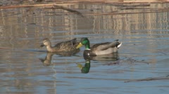 Male and Female Mallard Ducks Swimming in Marsh Stock Footage