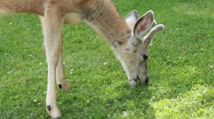 Buck deer feeding on green grass P HD 0429 Stock Footage
