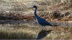 Little blue heron (Egretta caerulea) Stock Footage