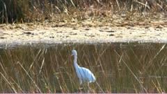 Snowy Egret (Egretta thula) Stock Footage
