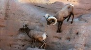 Stock Video Footage of Bighorn Sheep Paws Youngster