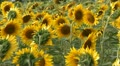 Sunflowers field pan HD Footage