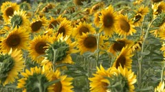 Sunflowers field pan Stock Footage