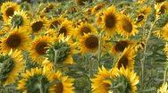 Stock Video Footage of Sunflowers field pan