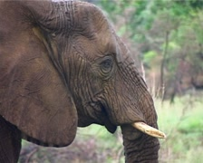 Elephant Female with small Tusks GFSD Stock Footage
