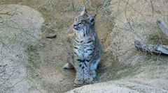Bobcat Twitches Tail Stock Footage