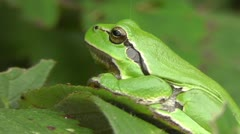 European tree frog Stock Footage