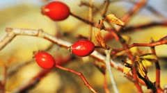 Natural rosehip Stock Footage