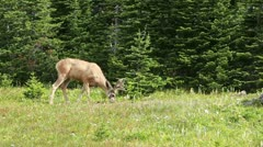 Buck deer in mountain forest P HD 0520 Stock Footage