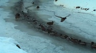HD - Wild ducks on the river in winter Stock Footage