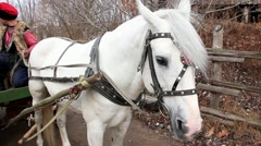 White horse in harness Stock Footage