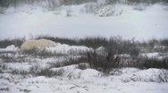Wild happy polar bear 2 Stock Footage