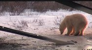 Wild polar bear cub digs for water Stock Footage