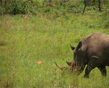 Rhino walking past GFSD Stock Footage