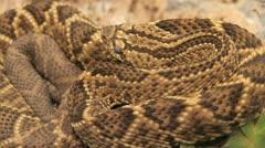 Rattle snake - stock footage