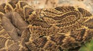Stock Video Footage of Rattle snake