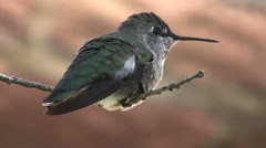 Costa's hummingbird Close-Up Stock Footage