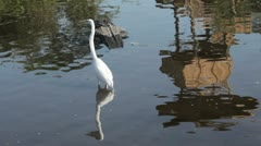 Great Egret wading in the water. - stock footage